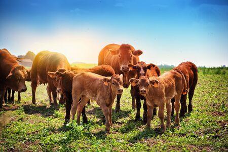 Lindos terneros pastando con vacas. Fondo agrícola Foto de archivo