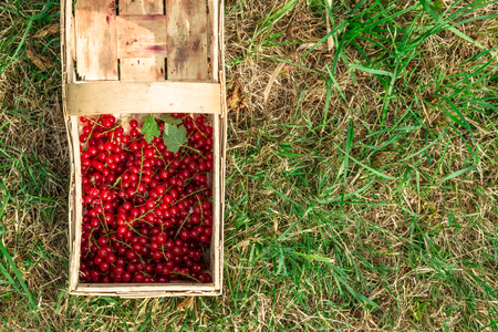 Half full wicker wooden basket with red currants