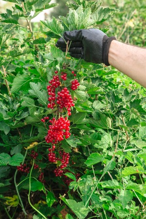 Man holds a bunch of red currants in the summer 写真素材