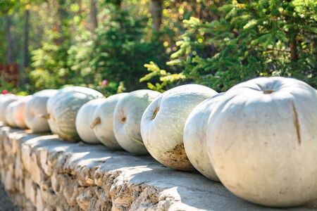 White pumpkins close up in row on harvest festival