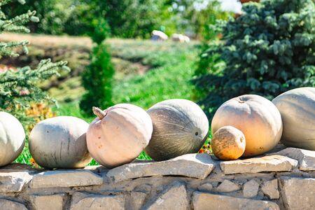 Pumpkins on stone fence in background of garden Stok Fotoğraf