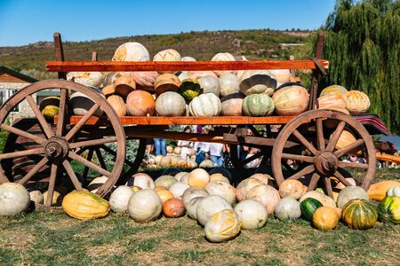 Wooden cart with many big pumpkins on it outdoor Stok Fotoğraf