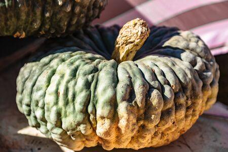 Closeup sunlit big green pumpkin on autumn holiday