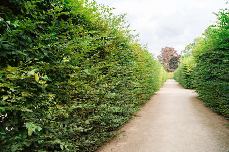 Path in the park of tall bushes of trimmed green bushes in summer
