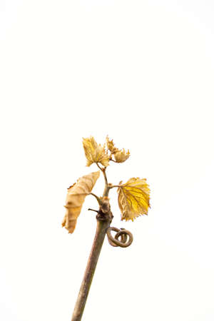 Close up of dried vine grapes with yellow leaves on white background of cloudy sky on cold october, november or january day. Nature, season specific, agriculture, food and drink ingredients