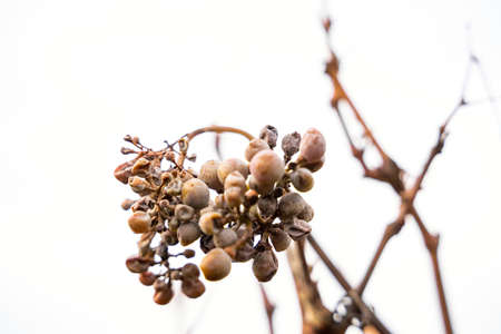Close up of old dried white vine grapes on white background of cloudy sky on cold october, november or january day. Nature, season specific, agriculture, food and drink ingredients Zdjęcie Seryjne