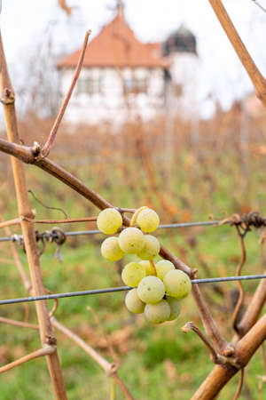 Close up of green grape berry of white grapes on vine with blurred background on cold october, november or january day. Nature, season specific, agriculture, food and drink ingredients