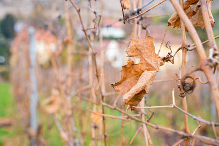 Close up of dried leaves of vine grapes growing in a raw with background of village houses on cold october, november or january day. Nature, season specific, agriculture, food and drink ingredients Zdjęcie Seryjne