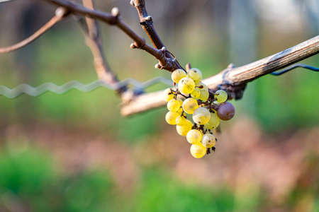 Close up of green grape berry of white grapes on vine with blurred background on sunny october, november or january day. Nature, season specific, agriculture, food and drink ingredients
