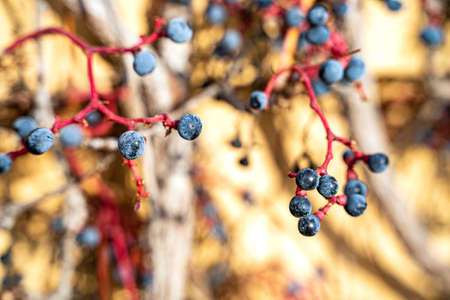Close up of blue grape berry of red wild vine grapes with blurred background on sunny october, november or january day. Nature, season specific, agriculture, food and drink ingredients Zdjęcie Seryjne