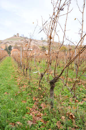 Close up of green grape berry of white grapes on vines in raw with background of village on hills on cold october or november day. Nature, season specific, agriculture, food and drink ingredients Zdjęcie Seryjne