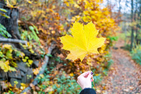 Young woman in coat holds large yellow autumn maple leaf in her hand in forest against background of autumn trees and bushes on September or October day. Nature, walking, season specific, leisure