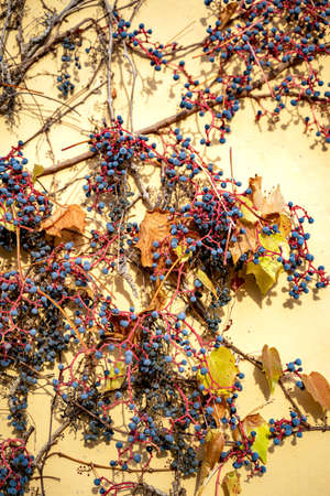 Blue grape berry of red wild vine grapes growing on yellow wall of a house on sunny october, november or january day. Nature, season specific, agriculture, food and drink ingredients