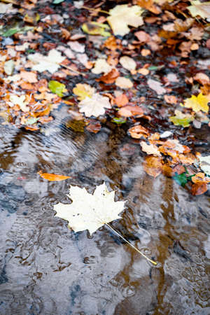 Yellow maple leaf floats next to other foliage on clear transparent fast river with reflections of trees in the water in forest or park on an autumn September or October day. Nature, seasons specific