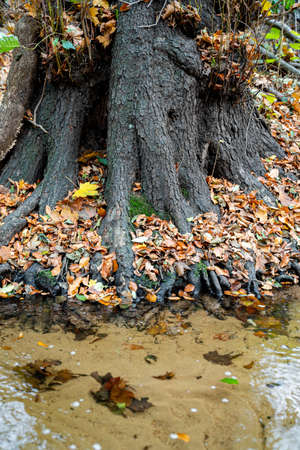 Large thick roots of old tree in autumn foliage of orange and yellow leaves next to clear transparent river on autumn September or October day in forest or park. Nature, season specific, ecology Zdjęcie Seryjne