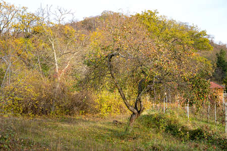 Apple tree with yellow-orange leaves and ripe apples grows in rustic country garden on sunny autumn September or October day. Ready to be harvested. Nature, seasons specific, agriculture