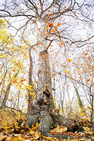 Tall large old maple tree with autumn yellow leaves and thick roots grows in the forest on fine October or November day. Nature, season specific, ecology, environment