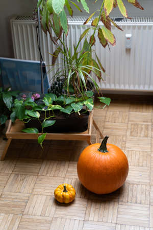 Orange fresh harvested pumpkins on floor near home flower in pot, heater and window in room interior on cloudy cozy autumn day. Agriculture, food, bakery, seasonal, holiday