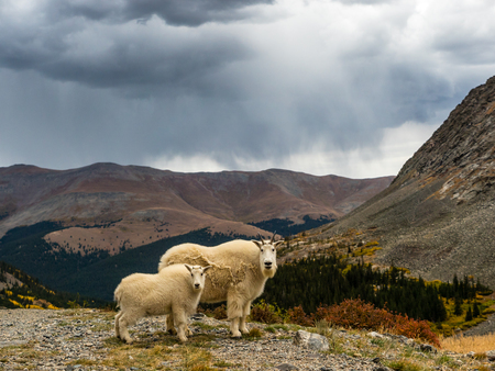 mountain goats: Adult and juvenile mountain goats with storm clouds, Rocky Mountains near Breckenridge, Colorado