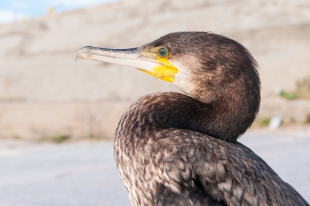 coldly: Portrait of Great Cormoran (Phalacrocorax carbo) standing