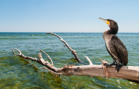 Portrait of Great Cormoran (Phalacrocorax carbo) standing on a branch photo