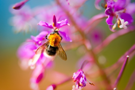A bumble bee (bombus hypnorum) sucking nectar from a fireweed (epilobium angustifolium) against a colorful background in Puumala, Eastern Finland, Europe, with shallow depth of field