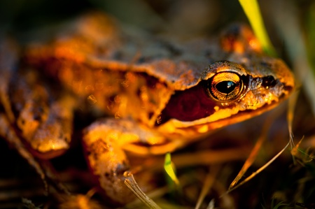 A brown frog (rana temporaria) about to jump on grass, lighted by the first golden rays of the morning sun, with shallow depth of field Stock Photo - 11620688