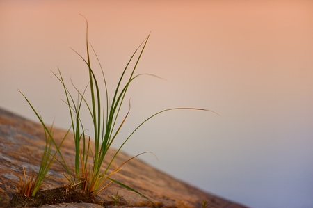 carex: A sedge (Carex) on a rocky shore of the Lake Saimaa at  pastel-colored sunset in Puumala, Eastern Finland Stock Photo
