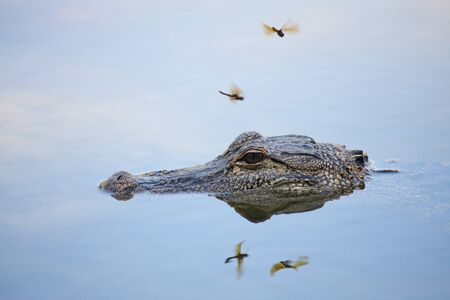 Wild Alligator on surface of a lake photo