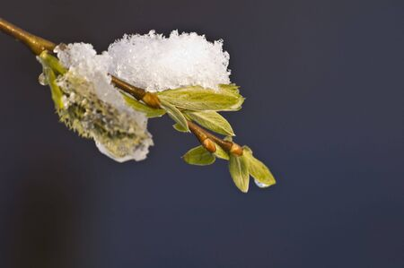 close-up of snow covered fresh green leafs Stock Photo - 2745128