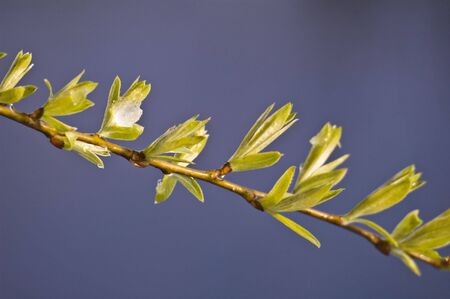 salix alba: close-up of a branch with fresh green leafs Stock Photo