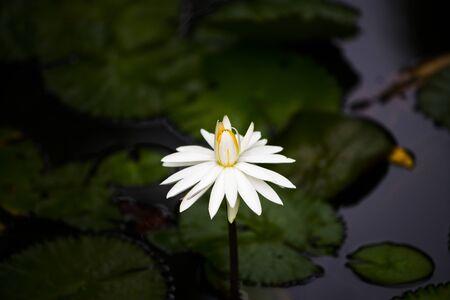 Waterlily, nymphea trudy slocum, with dark background