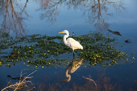 Egret and reflection in autumn, Brazos Bend State Park, Houston in USA