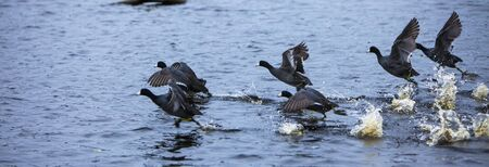 Ducks in line by lakeside, flying off Stock Photo