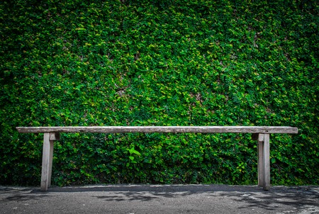 ivy wall: Lonely wooden bench in the park and ivy wall