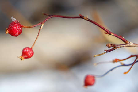 nature background. rose hip in nature with snow Zdjęcie Seryjne