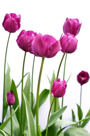 Side view of purple tulips against a white background Stock Photo - 4358445