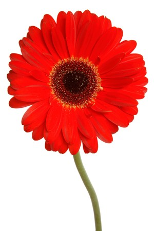 Red gerbera isolated on a white background photo