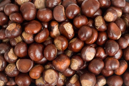 conkers: Closeup of conkers or horse chestnuts