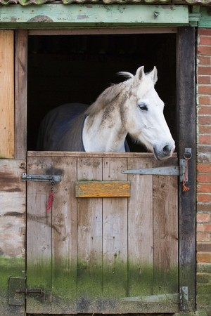 racehorses: White horse behind a wooden stable door Stock Photo