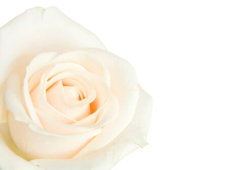 White rose isolated against a white background photo