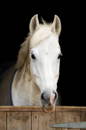 barn black and white: Closeup of a white horse against a black background, behind a wooden stable door. Stock Photo