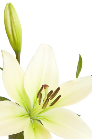 White lily, Liliaceae lilium, isolated against a white background with copy space