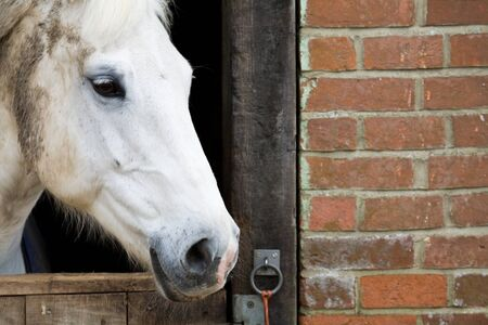 racehorses: Closeup of a white horse behind a stable door, with copy space to right. Stock Photo