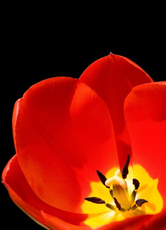 flowerhead: Red tulip isolated on a black background