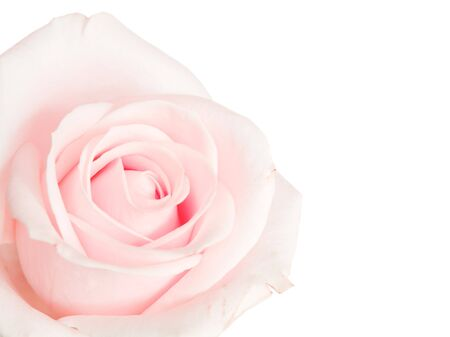 Pink rose isolated against a white background photo