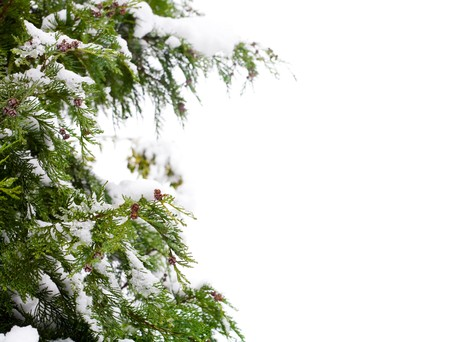 Conifer and snow, isolated against a white background with copy space photo