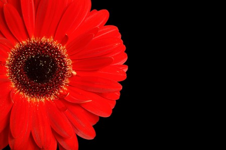 closeups: Gerbera isolated on a black background with copy space