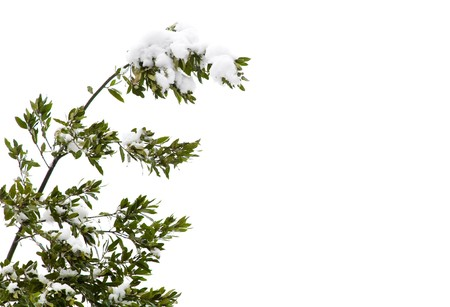 Top of a tree with snow on the branches, isolated against a white background with copy space photo