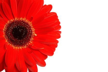 whitespace: Gerbera isolated on a white background with copy space